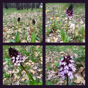 2013-04-25 orchidee