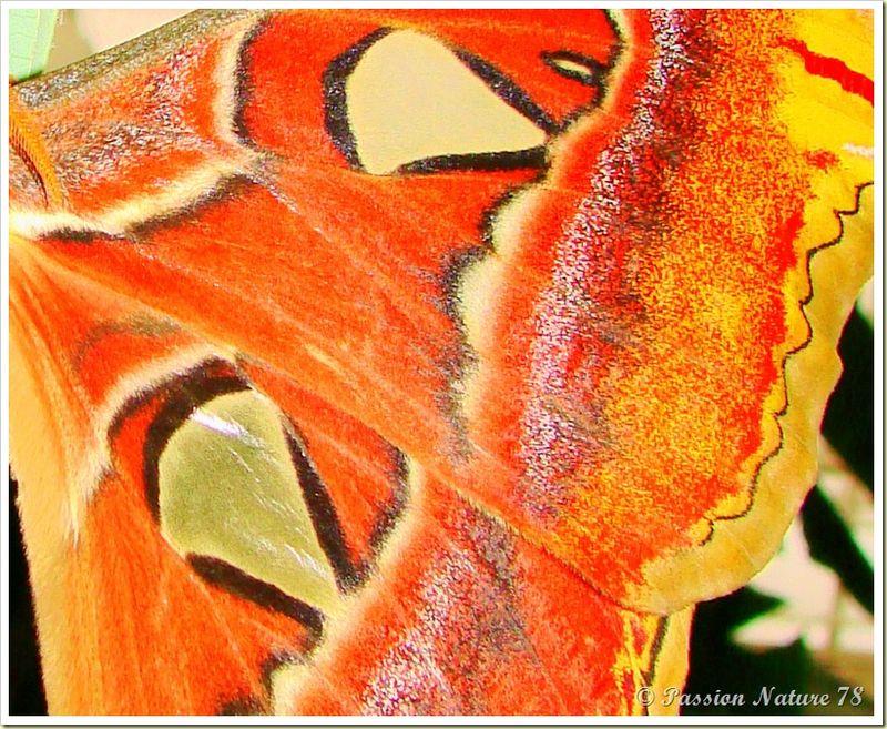 Papillon Attacus Atlas ou Bombyx Atlas (6)