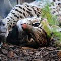 Zoo de granby : la science au secours des ocelots