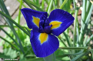 Iris-hollandica-Blue-Magic