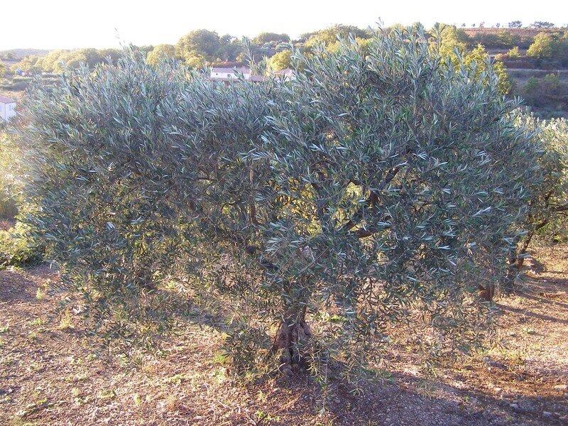 ... et ses champs d'oliviers