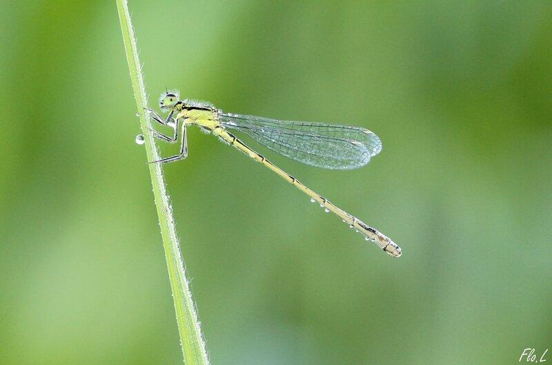 Agrion élégant (Ischnura elegans) femelle