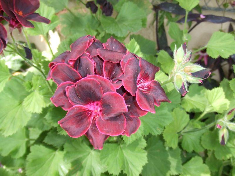 fleurs bordeau