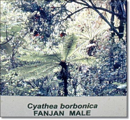 PANCARTE_FOURGERE_CYATHEA_BORBONICA