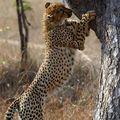 Cris du guépard