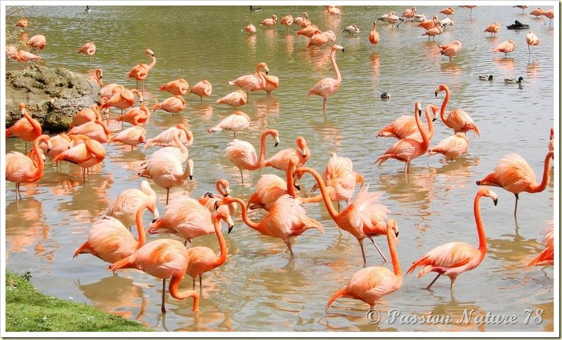 Les flamants roses (2)
