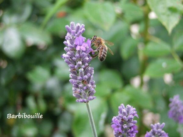 abeille 2 Juil16