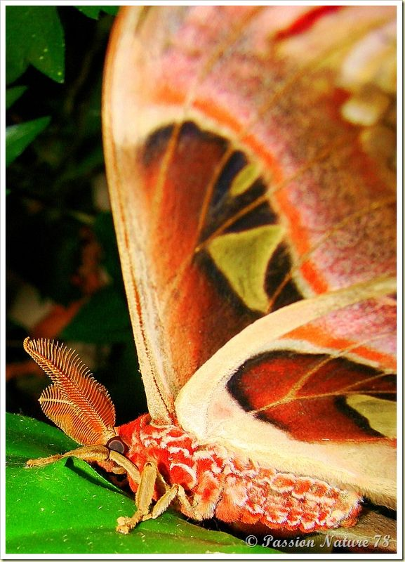 Papillon Attacus Atlas ou Bombyx Atlas (13)