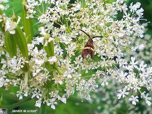 Myrrhis odorata