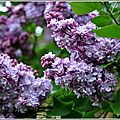 Lilas.