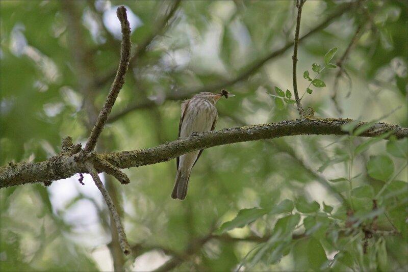Galuchet oiseau gobemouche mouche 200617 2