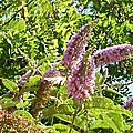 Flambé (Iphiclides podalirius) sur buddleia