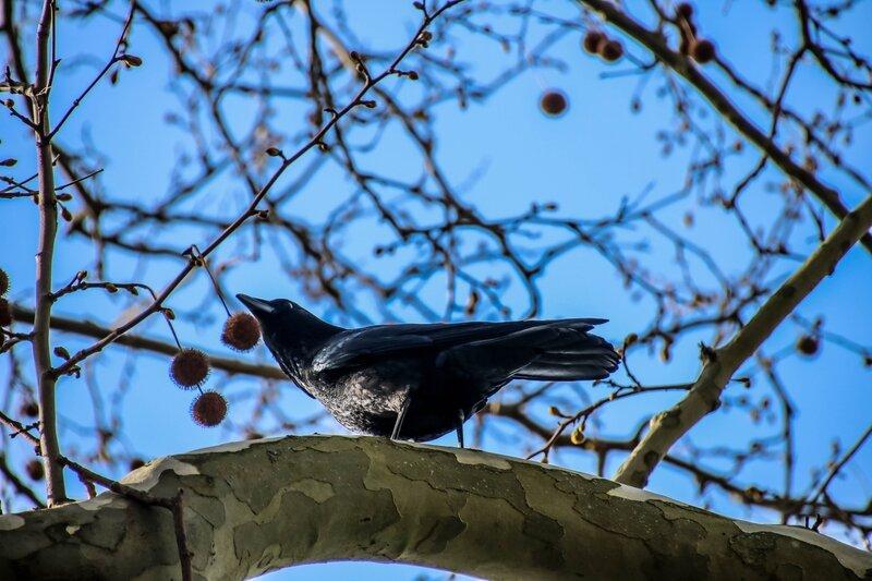 Corneille dans un arbre