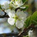 2008 05 02 Des fleurs de pruniers