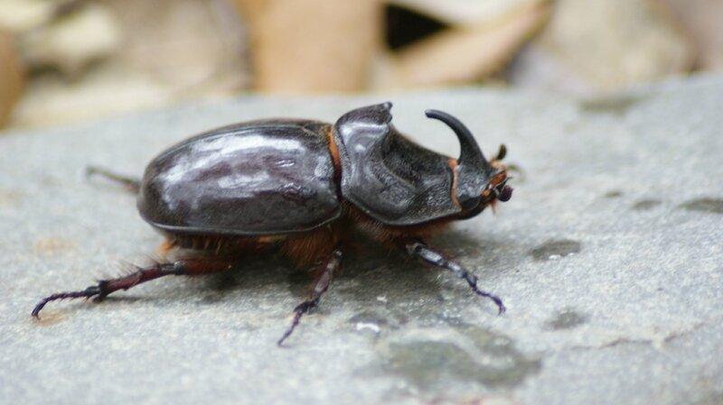 scarabee rhino1