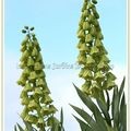 Fritillaire ivory bells