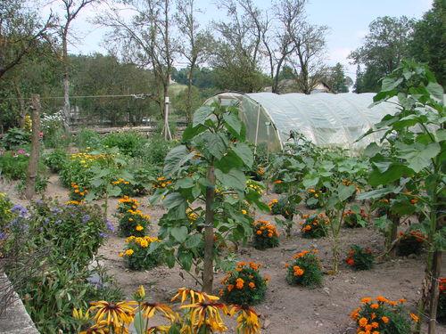 2008 08 07 Mon jardin, mes tournesols en avant plan