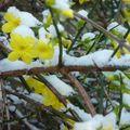 jasmin d'hiver, premières fleurs hivernales...