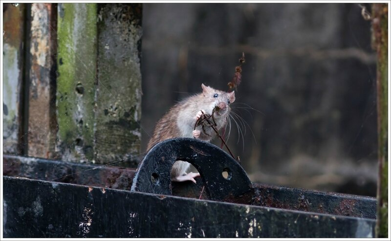 ville pluie rat écluse 9 241016