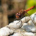 libellule rouge de face