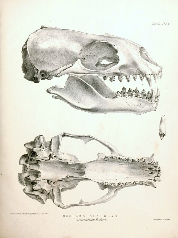 New_Zealand_Sea_Lion_skull_1844