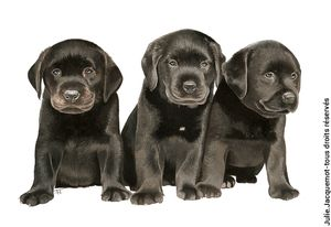 chiots_lab_facebook