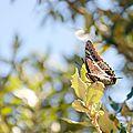 Le Pacha à deux queues - Charaxes jasius