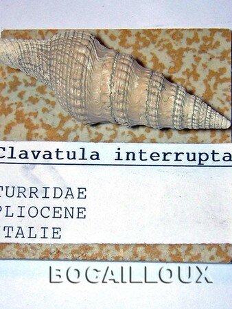 CLAVATULA_Interrupta__Italie