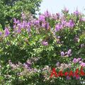 Jarul trees in full bloom (violet)
