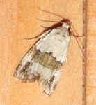 Lithacodia blandula (6)