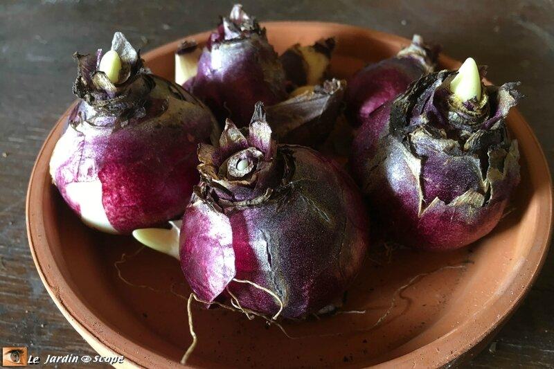 Bulbes de Jacinthes de Bretagne