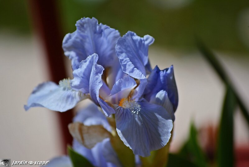 Iris lilliput Blue Denim