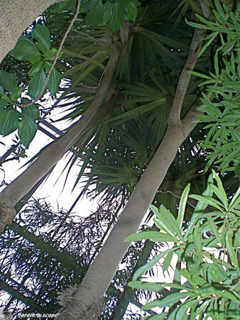 CIMG1442_Pandanus