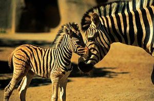 zebre2