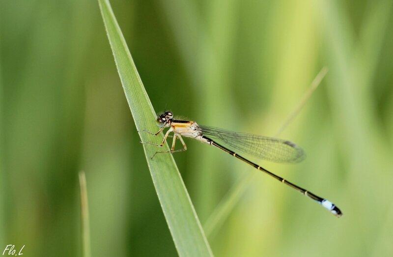 Agrion élégant (Ischnura elegans) femelle immature de type C