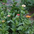 2009 07 21 Mes zinnias qui commence à fleurir