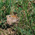 Papillon : Le procris ou Fadet commun (Coenonympha pamphilus)