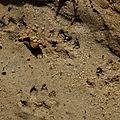 Pteronura brasiliensis - Loutre géante (loutron)