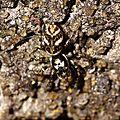 Saltique chevronné - Salticus scenicus