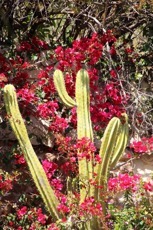 cactus_bougainvillier
