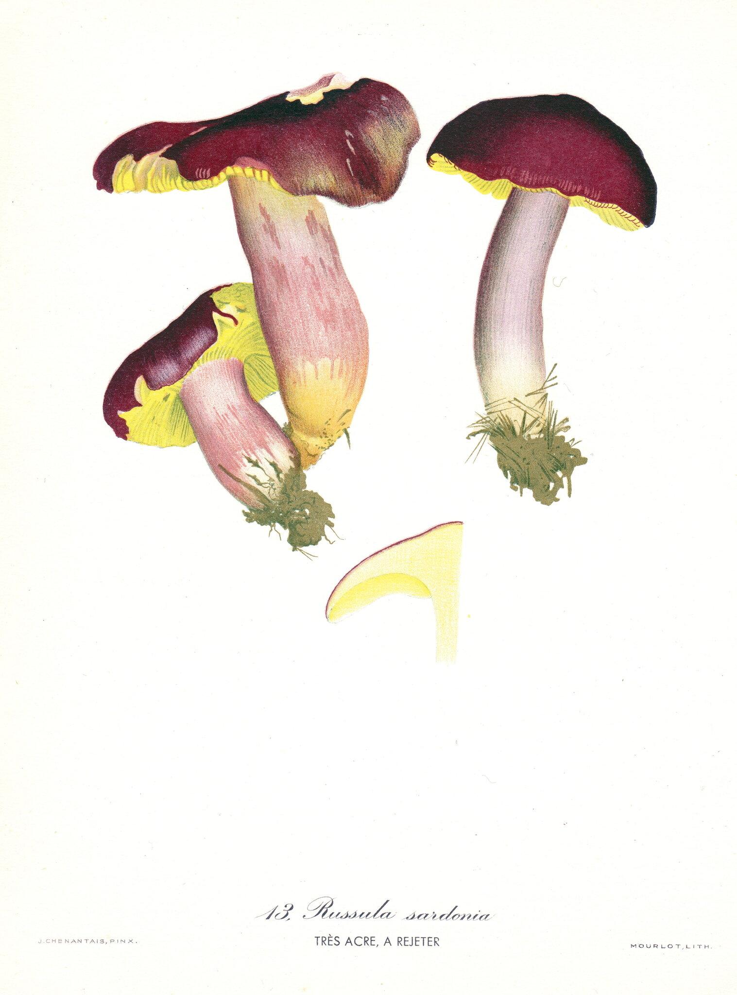 Russula sardonia Chenantais RNA pl. 13