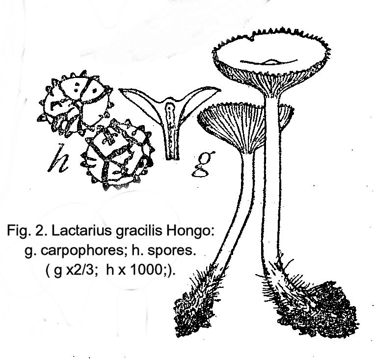Fig 2 1957 Lact gracilis-01