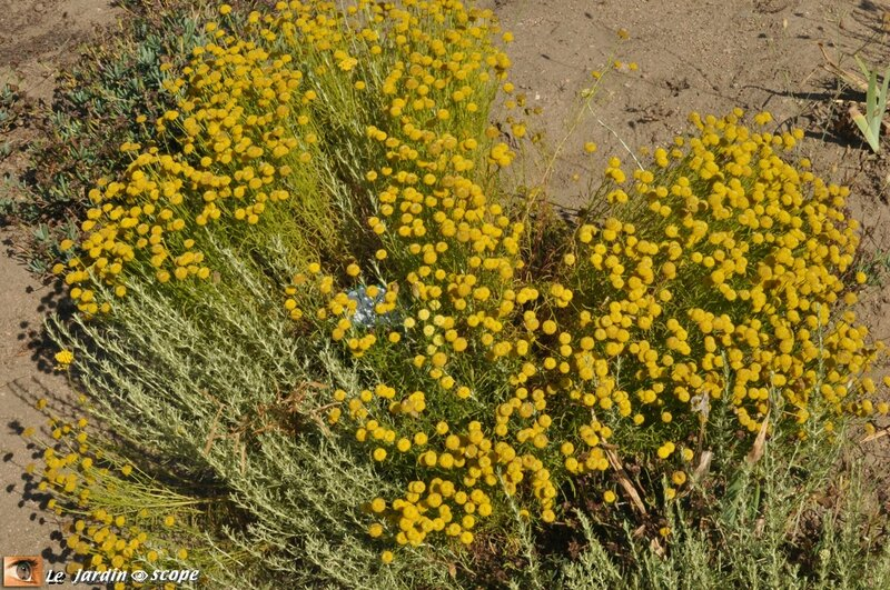 Santoline • Santolina chamaecyparissus