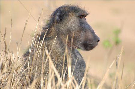 Babouin_chacma_m_le__parc_Kruger__Afrique_du_Sud