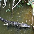 Alligator du Mississippi