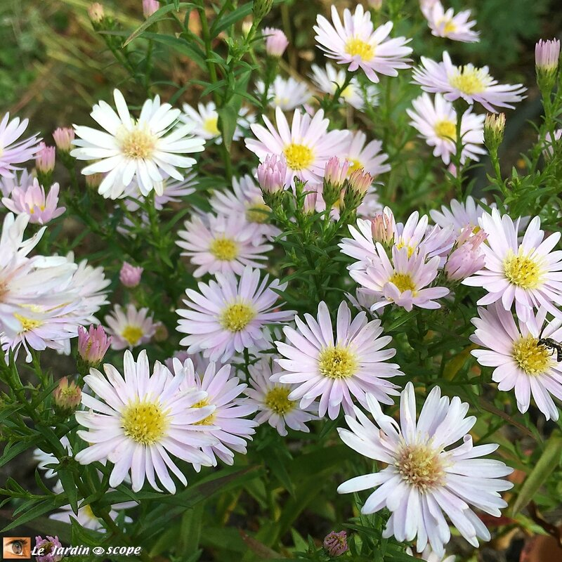 Aster Ericoides Cyrille