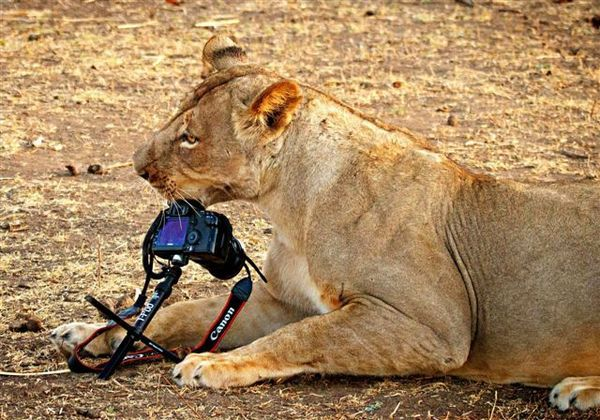 pictured_lioness_with_camera_in_5799_diaporama