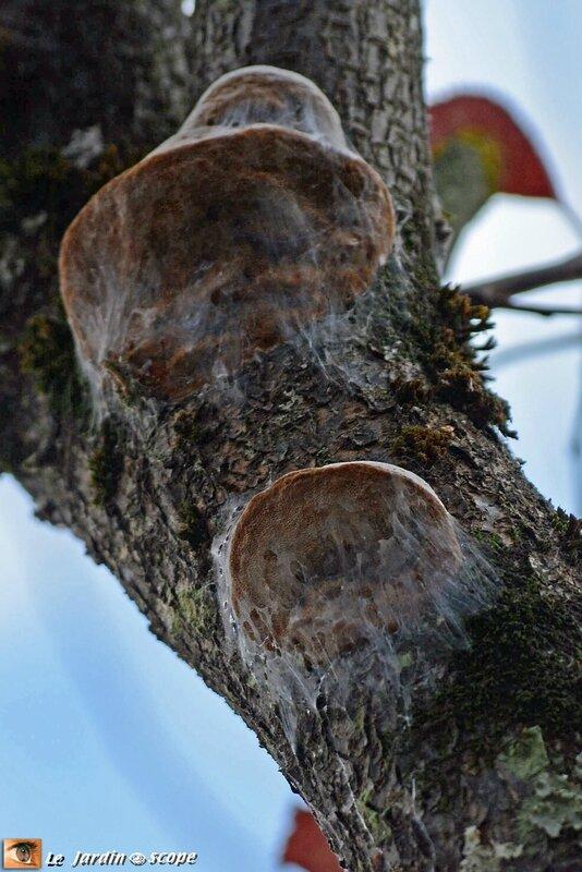 Comment lutter contre le redoutable phellin du prunier - Comment tailler un mirabellier ...