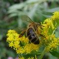 abeille solidago