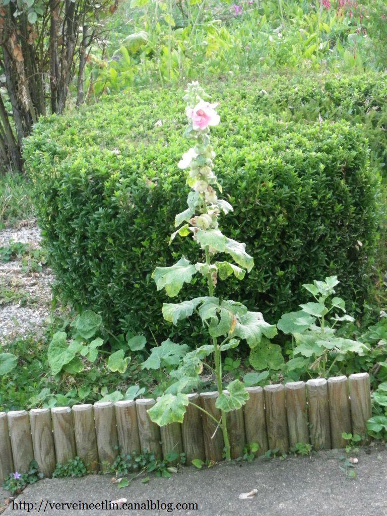 J 39 ai descendu dans mon jardin verveine et lin - Mamie baise dans le jardin ...